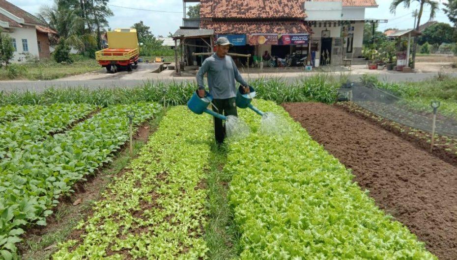 Dukung Petani Sayuran, Anna – Fritz Akan Terapkan Urban Farming di Metro