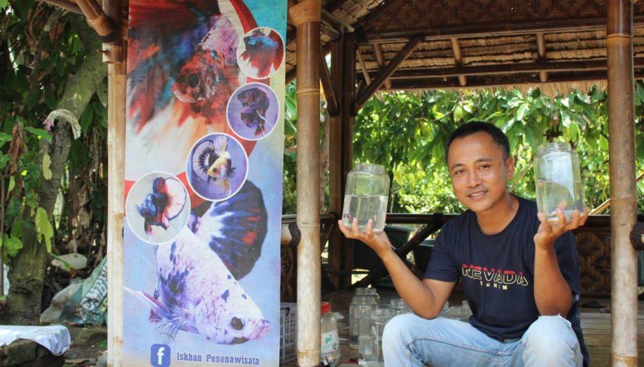 Hobi Cupang Dimasa Pandemi, Jadi Peluang Rezeki