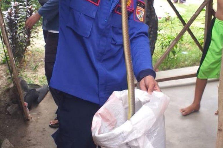 Dinas Damkar dan Penyelamatan Tubaba Evakuasi Ular Kobra di Rumah Warga